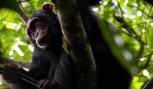 Chimpanzee-Nyungwe-Rwanda