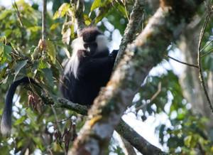 Monkey Nyungwe National Park