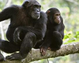 chimpanzees-Nyungwe Forest-Rwanda