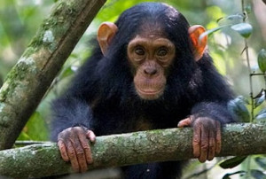 chimps-kibale-national-park