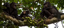 chimps-tracking