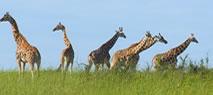 giraffes_in_uganda