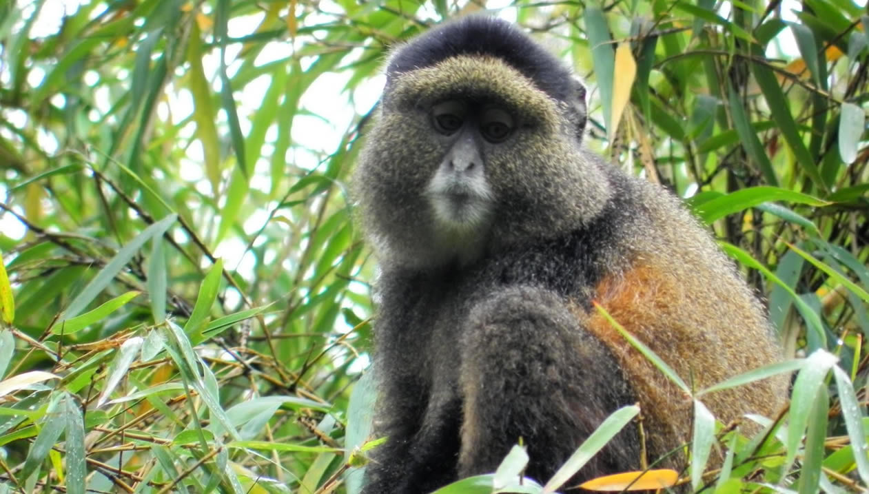 Golden Monkeys in Volcanoes National Park Rwanda