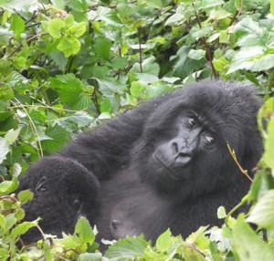 gorilla-trek