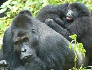 gorillas-bwindi-national-park