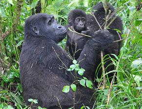 gorillas-bwindi-np