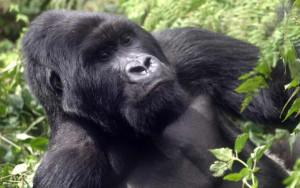 gorillas-parc-national-des-volcans