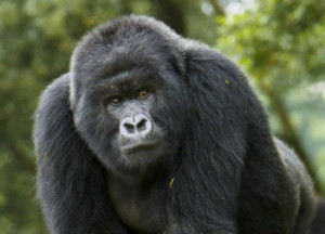 mountain-gorillas-volcanoes-national-park