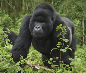 silverback-mountain-gorilla-volcanoes-national-park