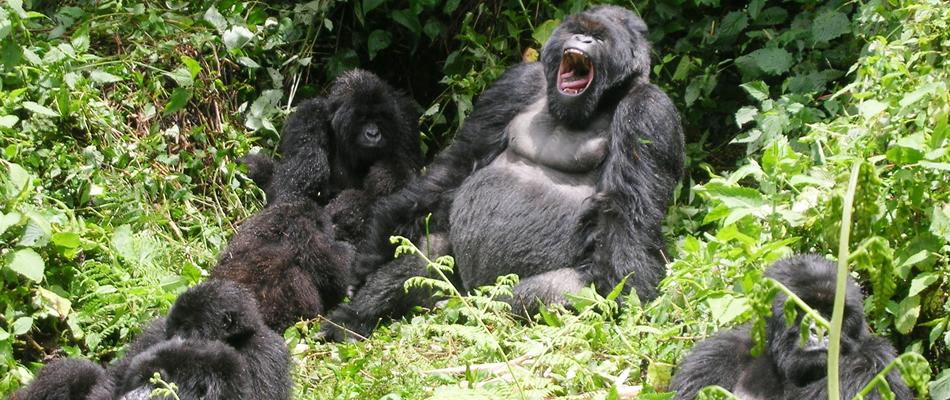 silverback-rwanda