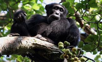chimpanzee nyungwe forest