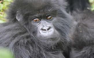 Uganda & Rwanda gorilla safari