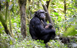 chimp-tracking-safari