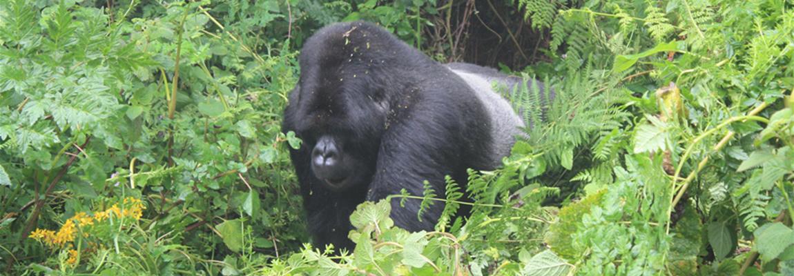 silverback-gorilla-rwanda