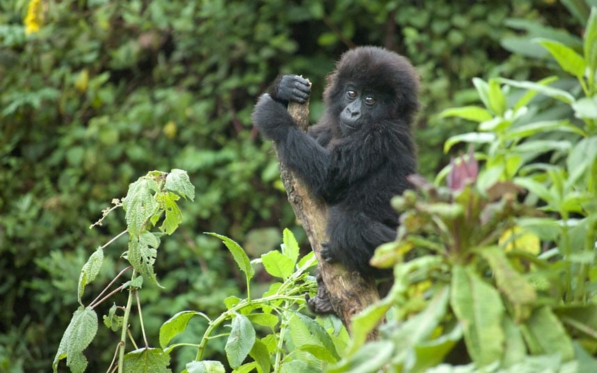 Baby Mountain Gorilla in the Jungle