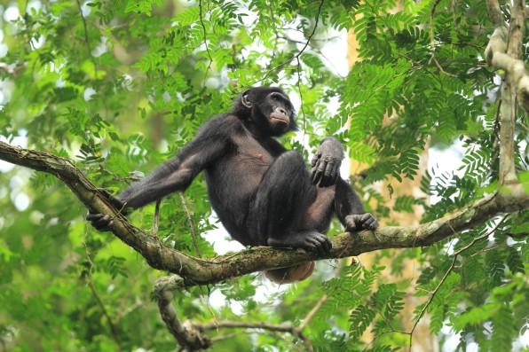 Bonobo Resting in Trees - DR Congo