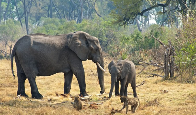 African Elephant Co-Exist with baboons