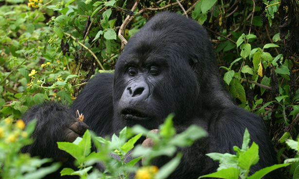 Mountain Gorilla in the Misty Jungles of Uganda and Rwanda