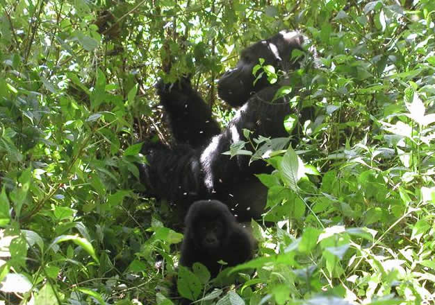 Dramatic Decrease of Grauer Gorillas in DR Congo