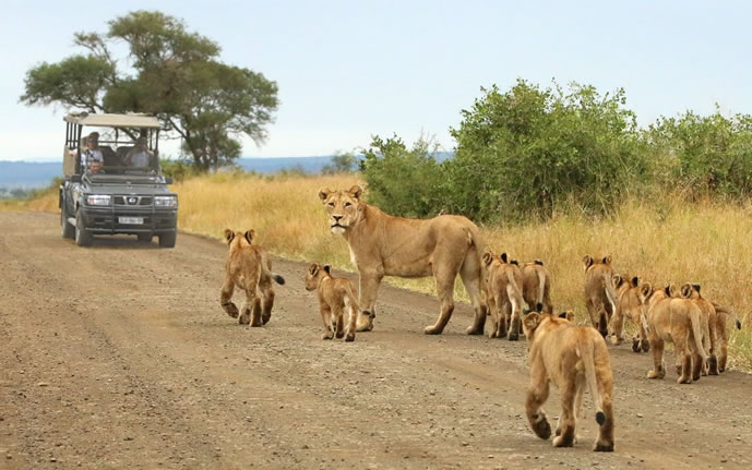 Pride of Lions in Kruger National Park - South Africa