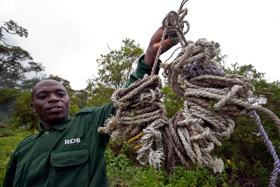 Park Ranger holding Poachers' Snares used to Trap Gorillas