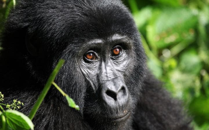 Watching Uganda's Mountain Gorillas In The Mist In A New Style