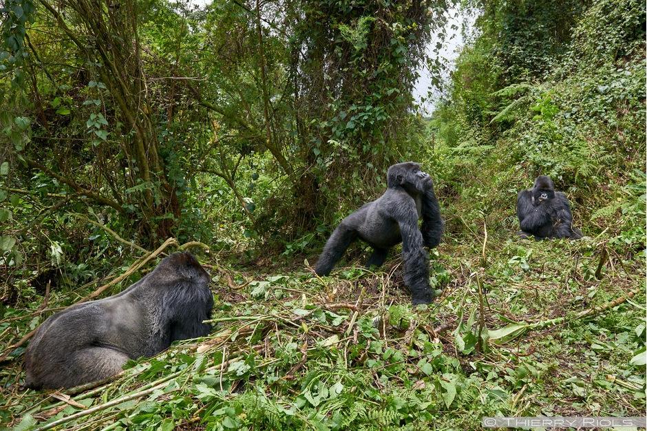 Titus Gorilla Family – Rwanda