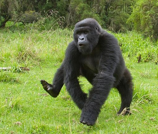 Black Back Gorilla Playing in the wild