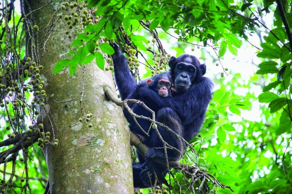 Chimps See while on Canopy walk Adventure