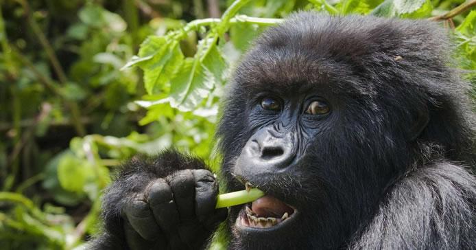 Mountain Gorilla Feeding in the wild