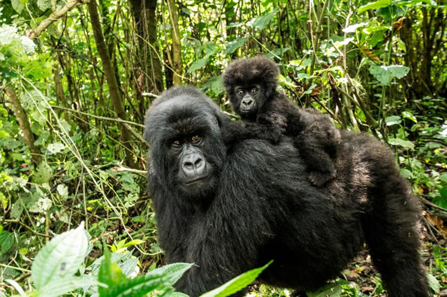 Discounted Gorilla safaris in Rwanda